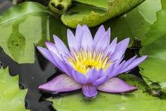 Lírios em uma lagoa Fotos de Stock Royalty Free