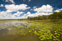 Lírios no pássaro Billabong, Austrália imagens de stock royalty free