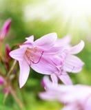 Lírios ou beladona cor-de-rosa de Amaryllis Fotos de Stock Royalty Free