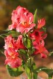 Lírios peruanos cor-de-rosa Imagens de Stock Royalty Free