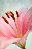 Lírios retros da cor-de-rosa do estilo do vintage imagens de stock royalty free