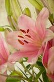 Lírios retros da cor-de-rosa do estilo do vintage fotos de stock royalty free