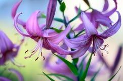 Lírios roxos Fotografia de Stock Royalty Free