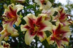 Lírios vermelho-amarelos de florescência Foto de Stock Royalty Free