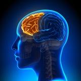 Lóbulo frontal femenino - cerebro de la anatomía Imágenes de archivo libres de regalías