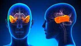 Lóbulo temporal femenino Brain Anatomy - concepto azul Fotos de archivo libres de regalías