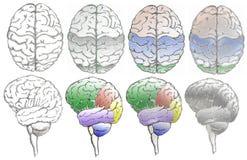 Lóbulos del cerebro fotografía de archivo libre de regalías
