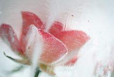 Lód - zimno wzrastał Obrazy Royalty Free