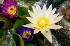 Lótus amarelos brancos Fotografia de Stock Royalty Free