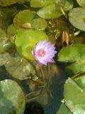Lótus aquáticos na lagoa fotos de stock