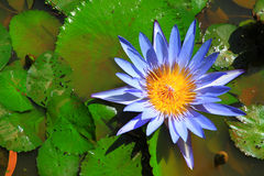 Lótus azuis na água Fotografia de Stock