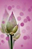 Lótus bonitos Foto de Stock
