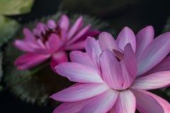Lótus bonitos Foto de Stock Royalty Free