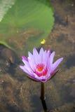 Lótus bonitos na associação do jardim Fotografia de Stock Royalty Free