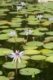 Lótus bonitos na lagoa Foto de Stock Royalty Free