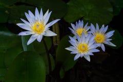 lótus Branco-azuis fechados acima com fundo escuro Foto de Stock Royalty Free