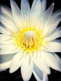 Lótus brancos Foto de Stock