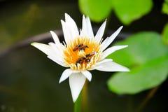 Lótus brancos com abelhas pequenas Imagens de Stock Royalty Free