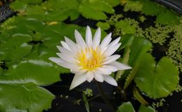 Lótus brancos da flor bonita fotografia de stock royalty free