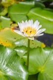 Lótus brancos de florescência e abelhas pequenas Fotos de Stock Royalty Free