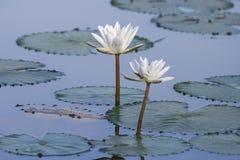 Lótus brancos em uma lagoa Imagens de Stock