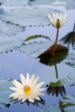 Lótus brancos na lagoa Imagens de Stock
