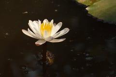 Lótus brancos na lagoa suja Imagens de Stock Royalty Free