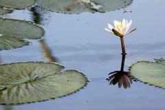 Lótus brancos na lagoa suja Fotos de Stock Royalty Free
