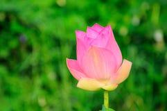 Lótus cor-de-rosa Imagem de Stock