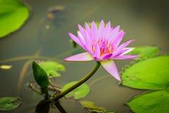Lótus cor-de-rosa Foto de Stock
