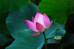 Lótus cor-de-rosa Imagem de Stock Royalty Free