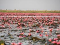 Lótus cor-de-rosa Imagens de Stock