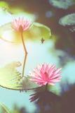 Lótus cor-de-rosa Fotografia de Stock Royalty Free