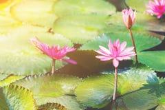 Lótus cor-de-rosa Fotografia de Stock