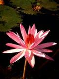 Lótus cor-de-rosa Foto de Stock Royalty Free
