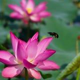 Lótus cor-de-rosa agradáveis com os outros obscuros no fundo Foto de Stock