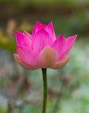 Lótus cor-de-rosa bonitos grandes Fotos de Stock