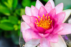 Lótus cor-de-rosa coloridos Fotografia de Stock