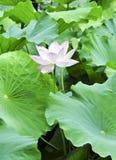 Lótus cor-de-rosa com abelha Fotografia de Stock Royalty Free