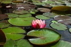 Lótus cor-de-rosa de florescência na lagoa foto de stock