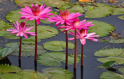Lótus cor-de-rosa em um lago Fotos de Stock