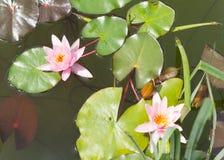 Lótus cor-de-rosa (lírio de água) Fotografia de Stock Royalty Free