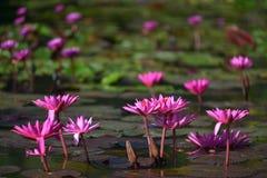 Lótus cor-de-rosa na água fotos de stock royalty free