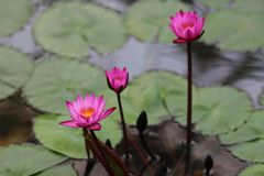 Lótus cor-de-rosa na água imagem de stock royalty free