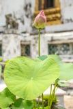 Lótus cor-de-rosa na associação Imagens de Stock Royalty Free