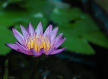Lótus cor-de-rosa na lagoa fotografia de stock royalty free