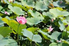 Lótus cor-de-rosa na lagoa Imagens de Stock