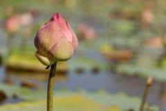 Lótus cor-de-rosa na lagoa Fotos de Stock Royalty Free