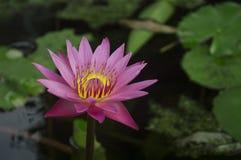 Lótus cor-de-rosa que florescem no pântano na água Foto de Stock