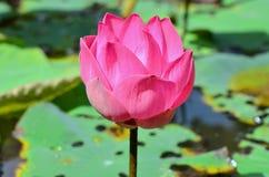 Lótus cor-de-rosa que flutuam, (flor do nucifera do Nelumbo) Imagens de Stock